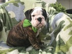Bulldog Puppy For Sale in EAST EARL, PA, USA