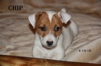 Jack Russell Terrier Puppy For Sale in ELIZABETH, Colorado,
