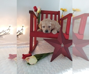 Labrador Retriever Puppy for sale in SHIPSHEWANA, IN, USA