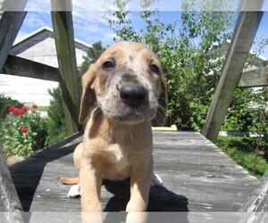 Daniff Puppy for sale in HUDSON, MI, USA