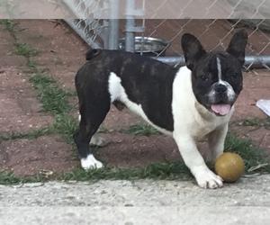 French Bulldog Puppy for sale in PONCHATOULA, LA, USA