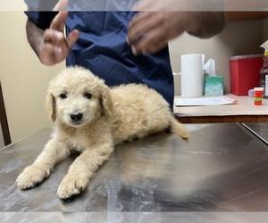 Goldendoodle Puppy for sale in EL DORADO HILLS, CA, USA