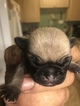 Pug Puppy For Sale in SCAPPOOSE, Oregon,