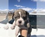 Small #4 Alapaha Blue Blood Bulldog