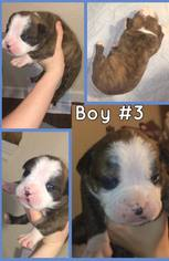 Olde English Bulldogge Puppy For Sale in CANYON LAKE, TX, USA