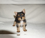 Yorkshire Terrier Puppy For Sale in DUNDEE, OH, USA