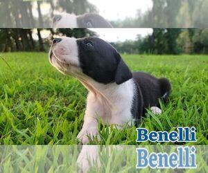 Great Dane Puppy for Sale in DURANTS NECK, North Carolina USA