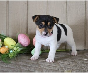 Jack Russell Terrier Puppy for sale in FREDERICKSBG, OH, USA