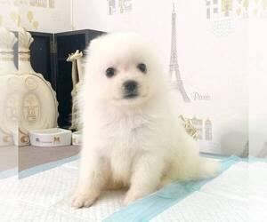 Japanese Spitz Dog for Adoption in CHICAGO, Illinois USA