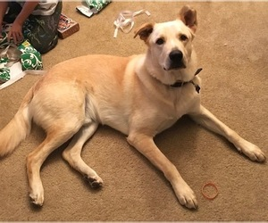 Labrador Retriever-Unknown Mix Dogs for adoption in BURLESON, TX, USA