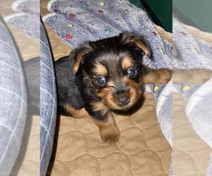 Yorkshire Terrier Puppy for sale in DETROIT, MI, USA