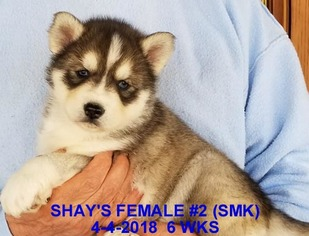 Siberian Husky Puppy For Sale in MANILLA, IA, USA