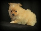 Pomeranian Puppy For Sale in SQUAW VALLEY, CA, USA