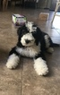 Sheepadoodle Puppy For Sale in SURPRISE, Arizona,