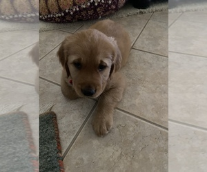 Golden Retriever Puppy for sale in SANTA CLARITA, CA, USA
