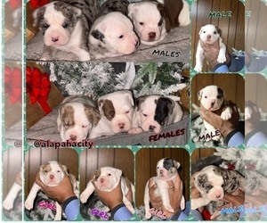 Alapaha Blue Blood Bulldog Puppy for sale in DETROIT, MI, USA