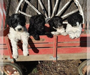 Pyredoodle Puppy for sale in VERGENNES, IL, USA