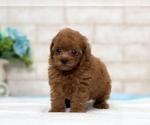 Small #7 Poodle (Miniature)