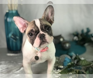 French Bulldog Puppy for Sale in CRANSTON, Rhode Island USA