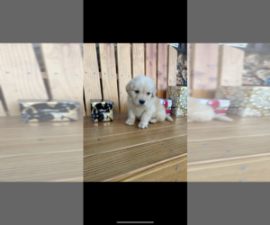 Golden Retriever Puppy for Sale in SACRAMENTO, California USA