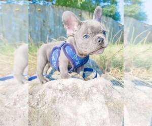 French Bulldog Puppy for sale in OZARK, MO, USA