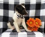 Small #11 Shetland Sheepdog