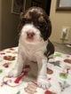 English Springer Spaniel Puppy For Sale in TUCSON, AZ, USA