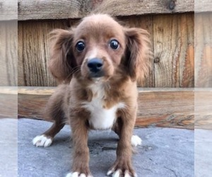 Cavapoo Puppy for sale in DRY RUN, PA, USA