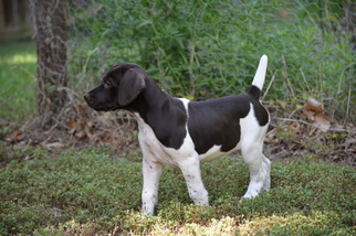 German Shorthaired Pointer Puppy For Sale in STILLWATER, OK, USA