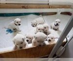 Small Photo #78 Labrador Retriever Puppy For Sale in NEW LENOX, IL, USA