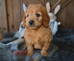 Goldendoodle Dog for Adoption in HONEY BROOK, Pennsylvania USA