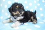 Pookimo Puppy For Sale in HONEY BROOK, PA, USA