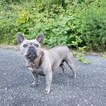 French Bulldog Puppy For Sale in CARVER, OR, USA