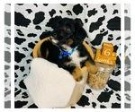 Puppy 5 Border Collie-Poodle (Miniature) Mix