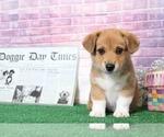 Cash Fun Little Male Corgi Puppy