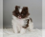 Puppy 6 Pomeranian