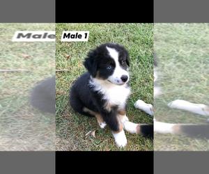 Australian Shepherd Puppy for Sale in JACKSON, Kentucky USA