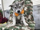 Huskimo Puppy For Sale in QUARRYVILLE, PA,