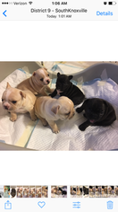 French Bulldog Puppy For Sale in KNOXVILLE, TN