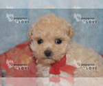 Small #1 Poodle (Toy)
