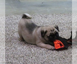 Pug Puppy for Sale in BLUFORD, Illinois USA