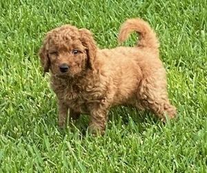 Australian Labradoodle Dog for Adoption in TYLER, Texas USA