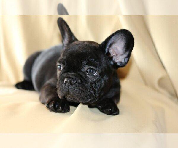 Medium Photo #4 French Bulldog Puppy For Sale in PALOS VERDES ESTATES, CA, USA