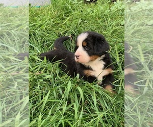 Bernese Mountain Dog Puppy for sale in RICHFIELD SPRINGS, NY, USA