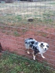 Miniature Australian Shepherd Puppy For Sale in SUNSET, SC, USA