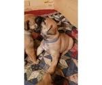 Puppy 2 Boerboel
