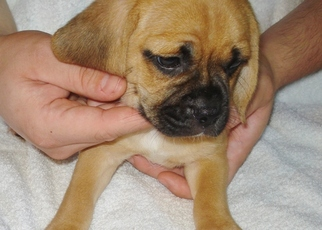 Puggle Puppy For Sale in VICTORIA, VA