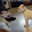 Small Photo #105 Dogo Argentino Puppy For Sale in PINEVILLE, MO, USA