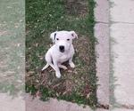Small Staffordshire Bull Terrier