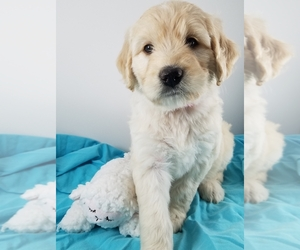 Goldendoodle Puppy for Sale in AUSTIN, Texas USA